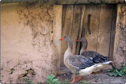 Goose - غاز